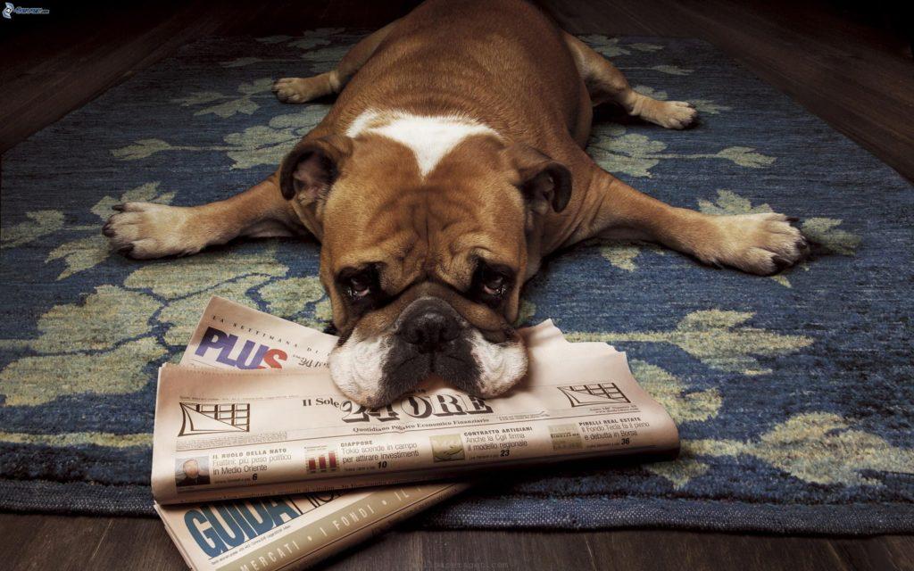 bulldog-inglese,-triste-cane,-giornale,-tappeto-167591
